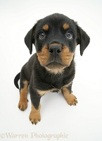 Rottweiler pup, 8 weeks old, from above