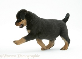 Two Rottweiler pup, 8 weeks old 1, trotting across