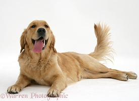 Golden Retriever lying, panting and wagging her tail