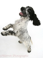 Cocker Spaniel bouncing up, from above