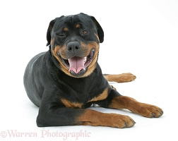 Rottweiler dog lying, head up