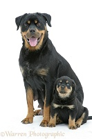 Rottweiler bitch sitting with a pup