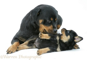Rottweiler bitch nuzzling a playful pup
