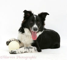 Border Collie bitch lying with her favourite ball