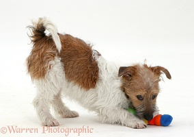 Jack Russell Terrier pouncing a toy