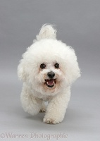 Bichon Frise trotting forward