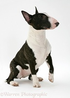 English Bull Terrier sitting, about to give a paw