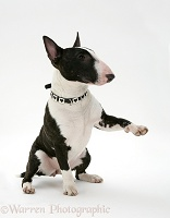 English Bull Terrier sitting, giving a paw