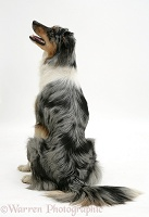 Blue merle Border Collie sitting, back view