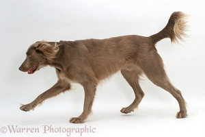Long-haired Weimaraner dog trotting across