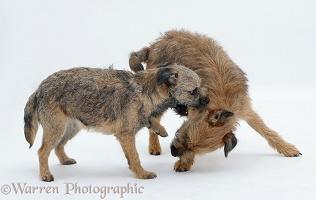 Border Terrier bitch play-fighting with her grown up pup