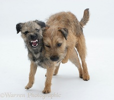 Border Terriers playfully mounting
