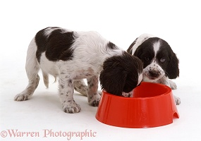 English Springer Spaniel pups eating from a bowl