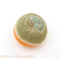 Mouldy rotten Orange