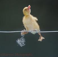 Duckling shaking itself