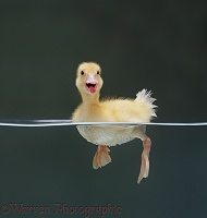 Duckling swimming on the surface