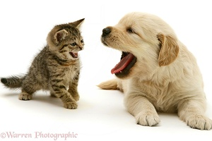 Retriever puppy and tabby kitten