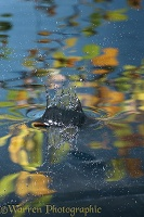 An acorn splashes into a woodland pool