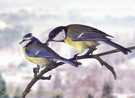Great Tit trying to displace a Blue Tit