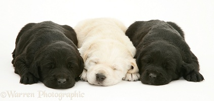 Three Labrador pups asleep