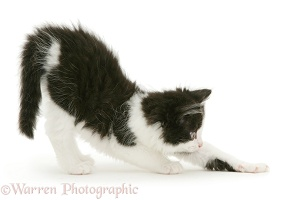 Black-and-white kitten stretching