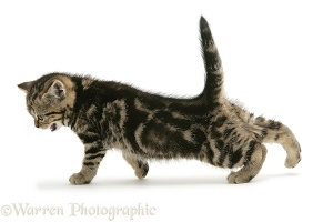 Brown tabby British Shorthair kitten stretching