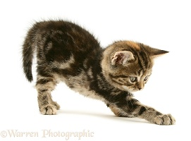 Tabby-tortoiseshell British Shorthair kitten stretching