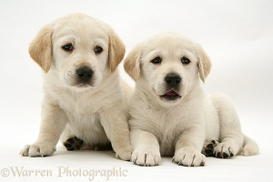 Two Goldador pups