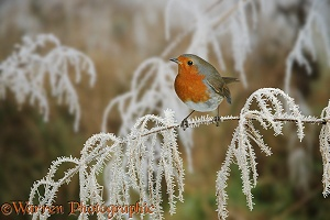 Robin on frosty sedge