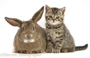 Tabby kitten and bunny