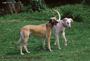 Young Saluki Lurchers