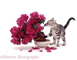 Bengal kitten and azalea