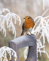 European Robin on a frosty spade handle