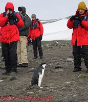 Tourists filming a Chinstrap Penguin