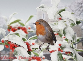 Robin on snowy Holly berries