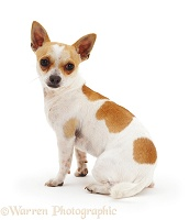 Smooth-haired Chihuahua