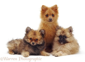 Trio of Pomeranian puppies