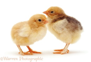 Pair of yellow chicks