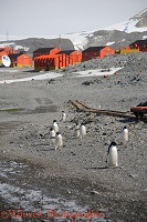 Adelie Penguins walking through the street