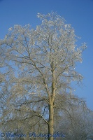 Rime on a beech tree