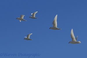 Snow Petrels in flight