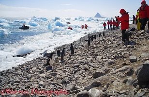 Adelie Penguins and tourists