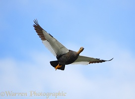 Upland Goose in flight