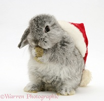 Silver baby rabbit wearing a Santa hat