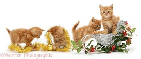 Ginger kittens and festive sledge, holly and tinsel