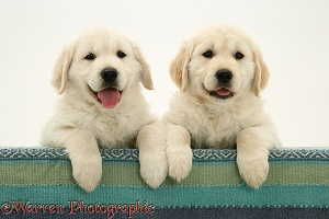 Golden Retriever pups with paws over