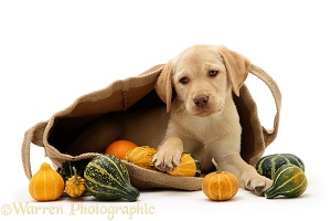 Yellow Retriever in a bag of gourds