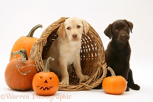 Yellow and Chocolate Retriever pups at Halloween