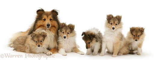 Sable Shetland Sheepdog (Sheltie) and pups