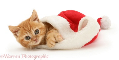 Red tabby kitten in a Santa hat
